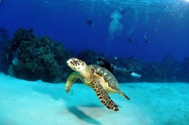 Cayman Turtle Divers
