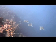 Diving with Eagle Rays, North Wall Grand Cayman